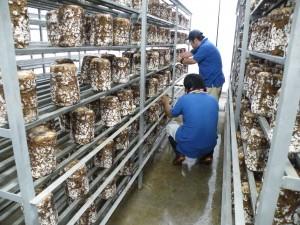 菌床しいたけ入庫および栽培20130722 0021